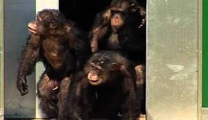 KRAJ JEDNE MONSTRUOZNE PRIČE: Laboratorijske čimpanze prvi put na slobodi! Pogledajte njihovu radost!