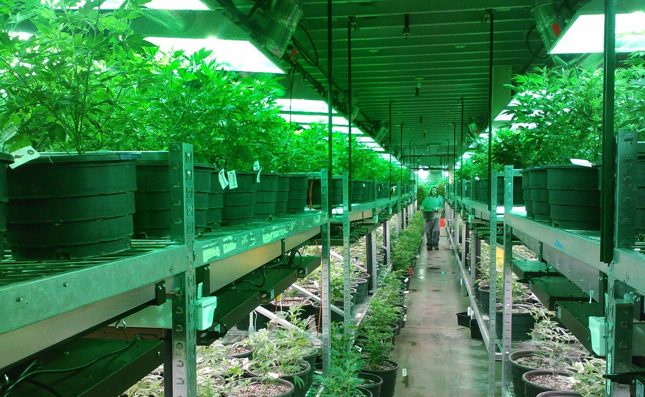 medicinska marihuana uzgoj