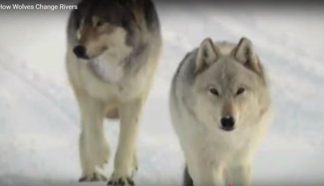 ČUDA PRIRODE: Kako vukovi mijenjaju rijeke