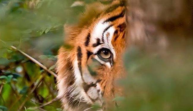 PROSVJED ZA AVNI: Kako je bengalska tigrica postala simbol uništenja prirode za kratkoročnu novčanu korist ljudi