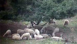 Najveći dalmatinski pastir