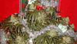 BOŽIĆNI OBIČAJI: Pokloni pod stabljikom marihuane, a u adventskom kalendaru zelena iznenađenja