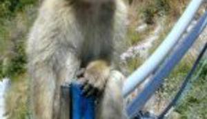 Majmuni rade za Britance!