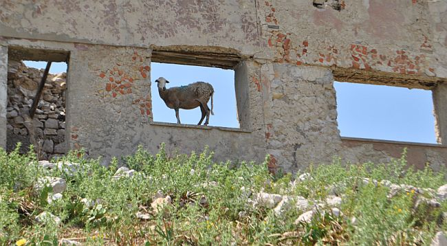 Ovce Goli otok