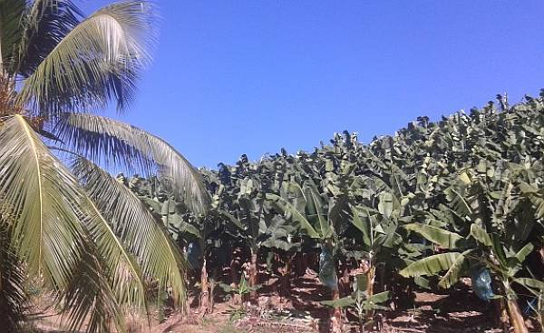 Polja banana